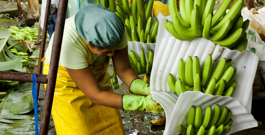 En person som paketerar bananklasar