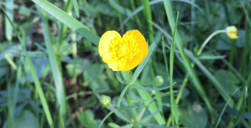En blommande smörblommar i närbild med gräs runt om sig