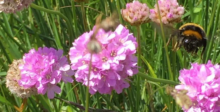 En humla som är påväg att landa på en blomma